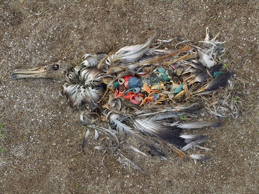 Альбатрос погиб наевшись пластикового мусора. Острова Мидуэй в Тихом океане