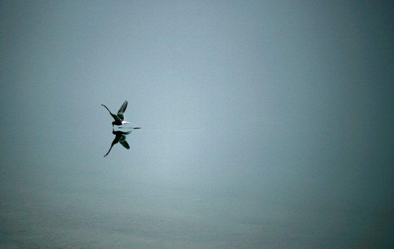 Арктическая крачка, неподалеку от острова Баффин, фотограф Себастьян Коупленд