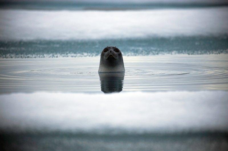 Любопытная кольчатая нерпа в заливе Рэдсток, фотограф Себастьян Коупленд