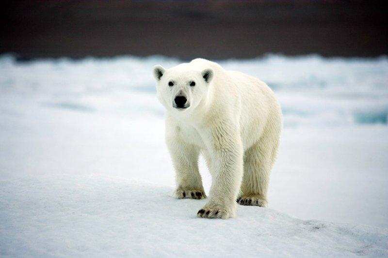 Молодой и агрессивный белый медведь на острове Девон, фотограф Себастьян Коупленд