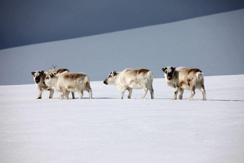 Полярные олени на Шпицбергене, фотограф Себастьян Коупленд