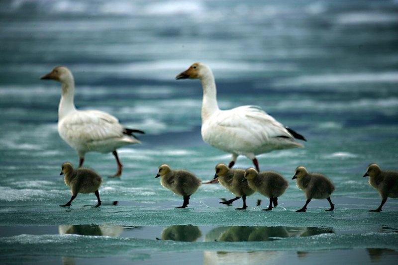 Гусиная семья на острове Элсмир, фотограф Себастьян Коупленд